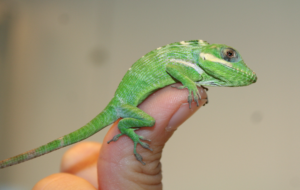 Anole Wallpapers HQ
