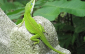 Anole For Desktop