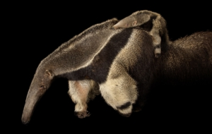 Anteater Background