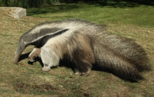 Anteater HD