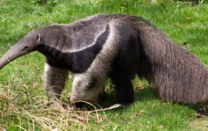 Anteater HD Wallpaper