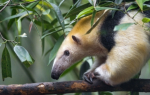 Anteater Images