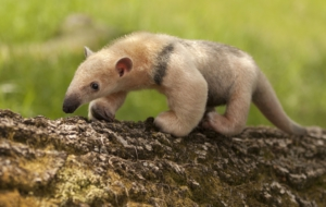 Anteater Wallpapers