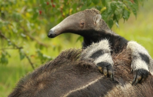 Anteater For Desktop
