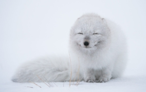 Arctic Fox Free HD Wallpapers