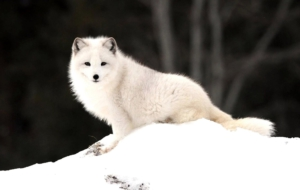 Arctic Fox HD Desktop