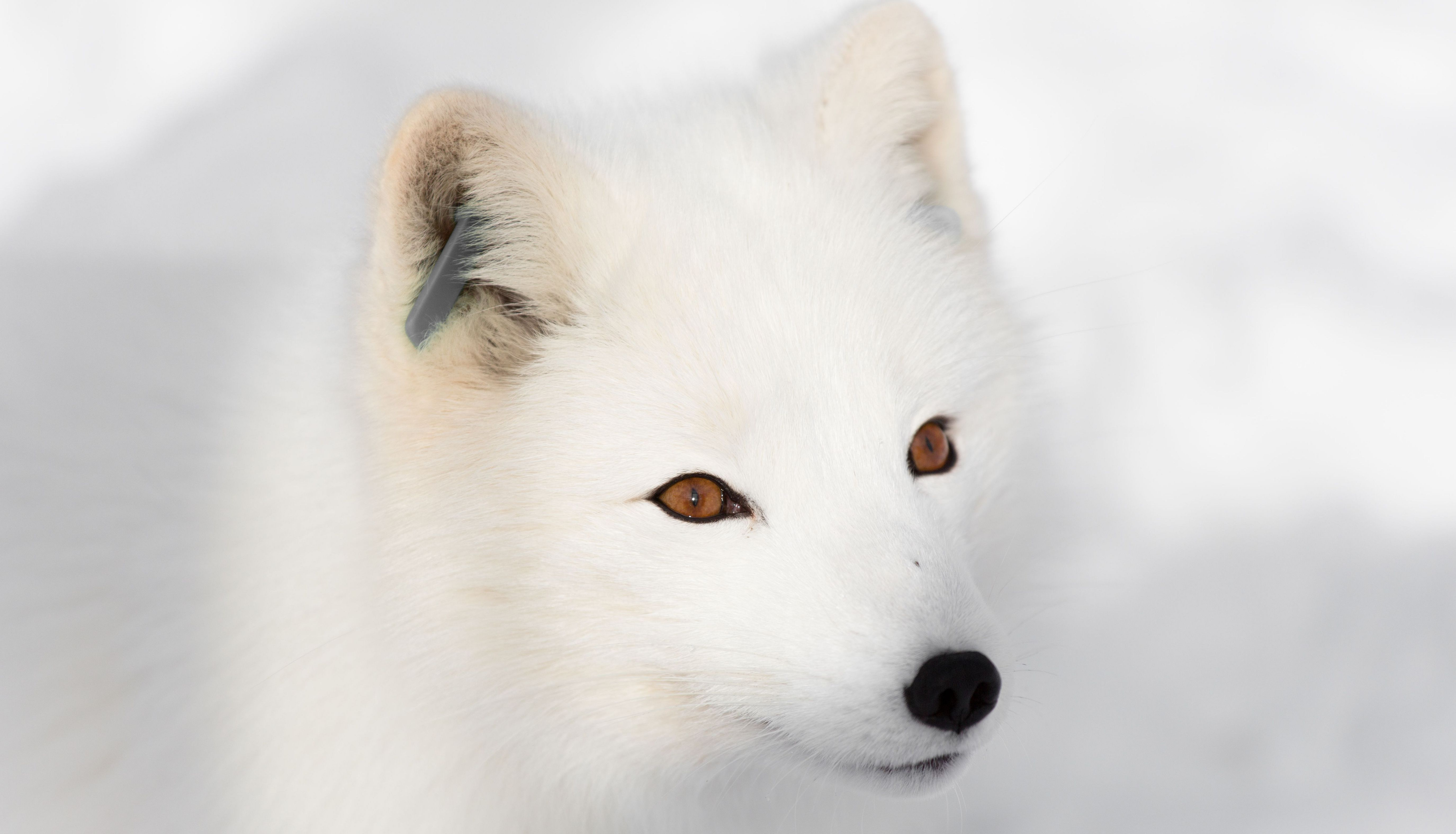 Arctic Fox Wallpapers Backgrounds
