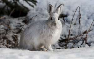 Arctic Hare Background