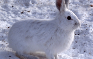 Arctic Hare HD Wallpaper