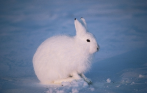 Arctic Hare High Definition Wallpapers