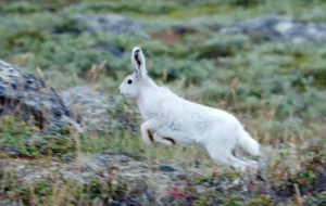 Arctic Hare High Quality Wallpapers