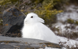 Arctic Hare Images