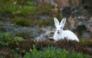 Arctic Hare Photos