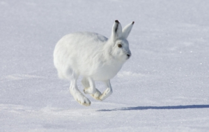 Arctic Hare Wallpaper