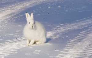 Arctic Hare Wallpapers