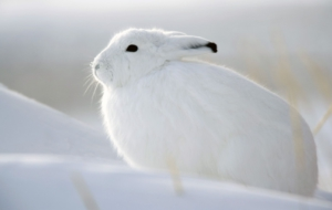 Arctic Hare Wallpapers HD