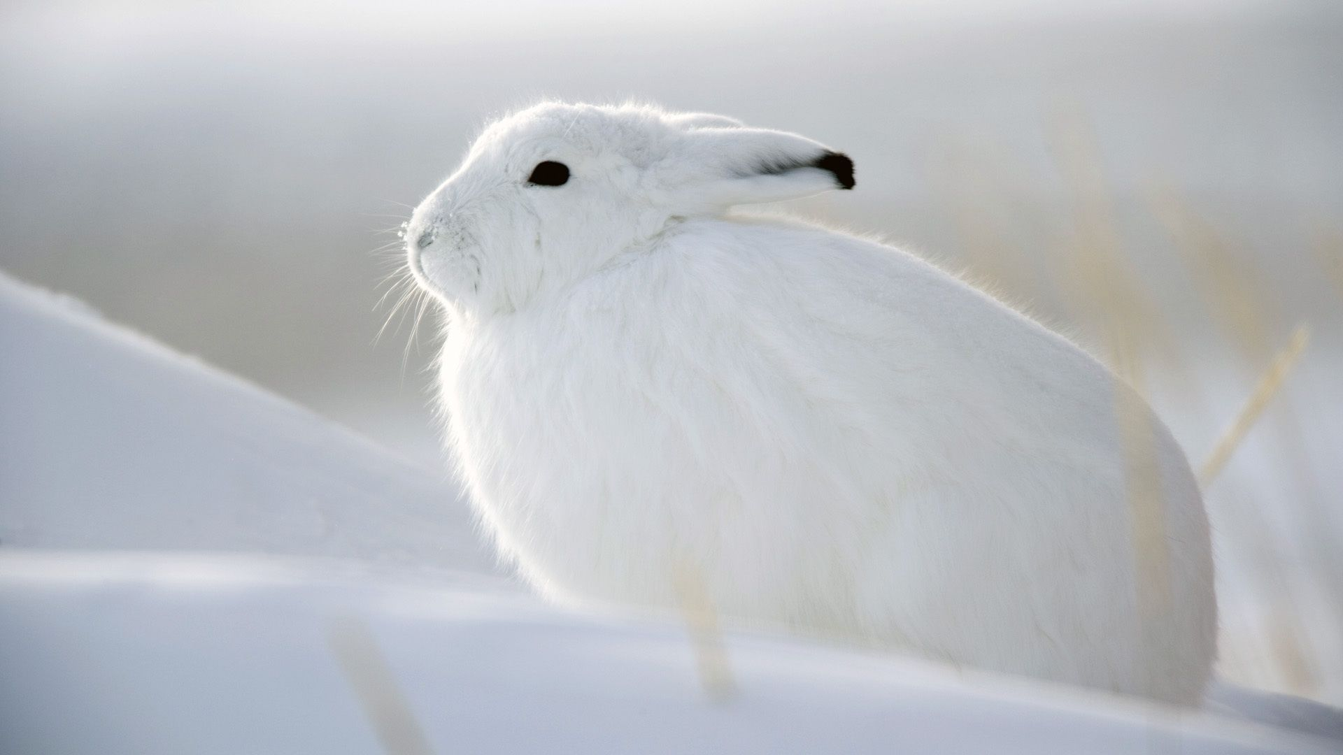 Arctic Hare Wallpapers Backgrounds