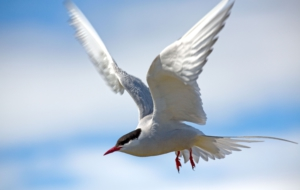 Arctic Tern High Quality Wallpapers