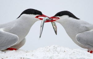 Arctic Tern Photos