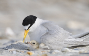 Arctic Tern Wallpapers