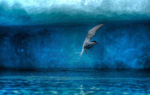 Arctic Tern Wallpapers HD