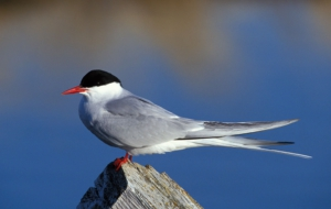 Arctic Tern Widescreen