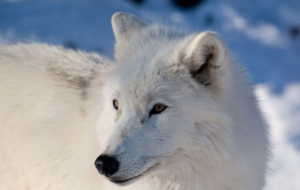 Arctic Wolf HD Wallpaper