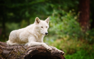 Arctic Wolf Wallpapers