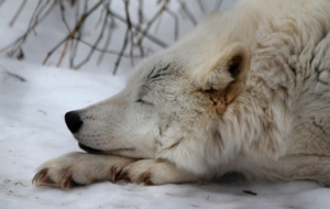 Arctic Wolf Widescreen