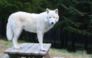 Arctic Wolf For Desktop