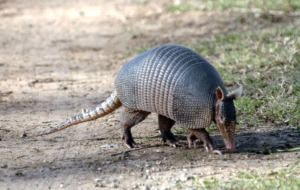Armadillo Background