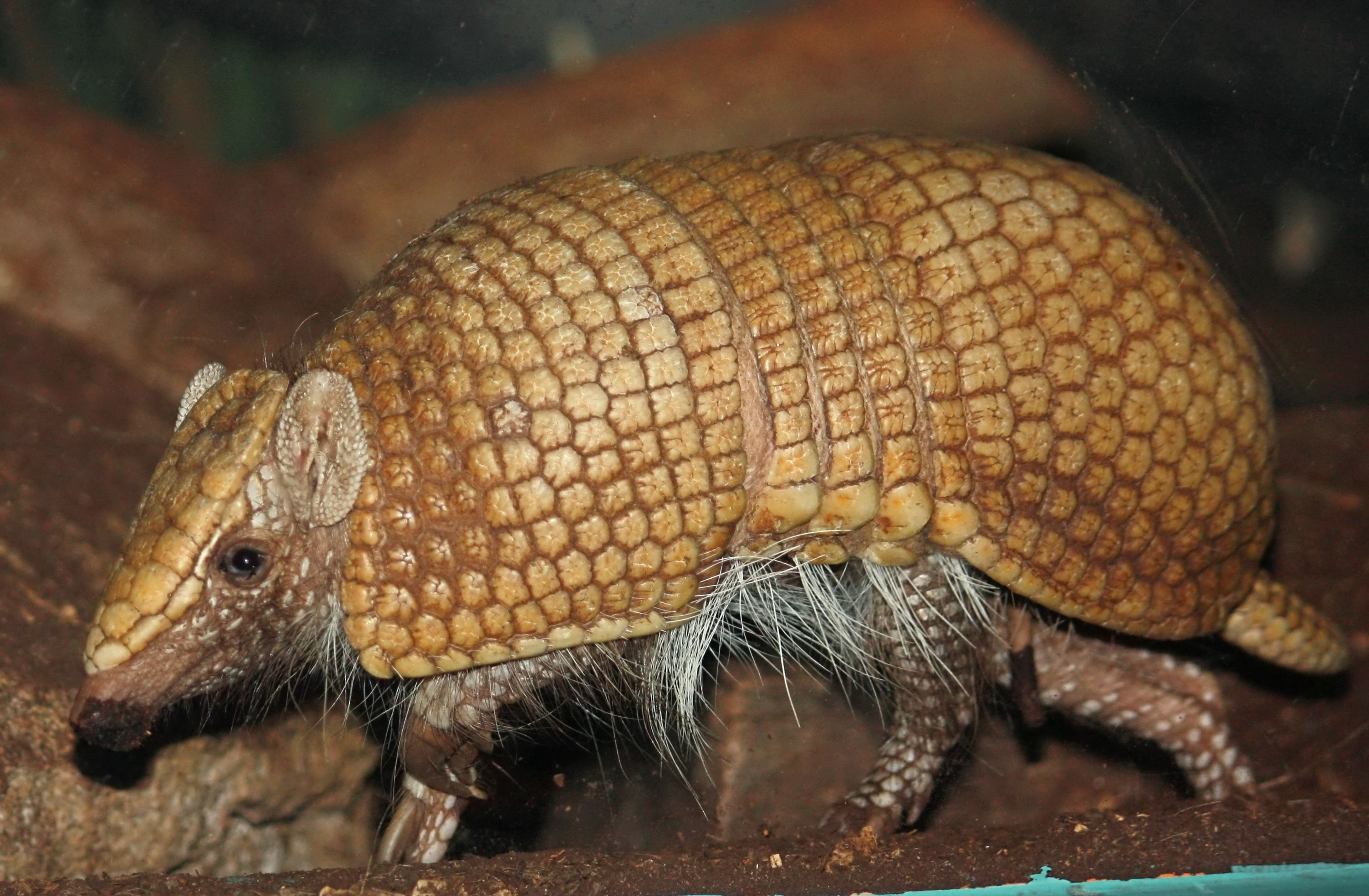 Armadillo Wallpapers Backgrounds