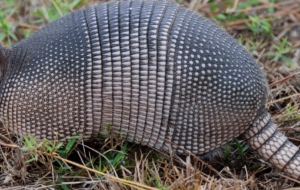 Armadillo HD Desktop