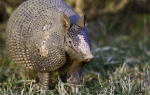 Armadillo High Definition Wallpapers
