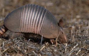 Armadillo Images
