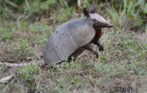 Armadillo Pictures