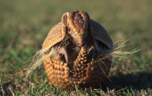 Armadillo Wallpapers HD