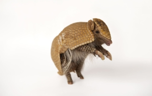 Armadillo Widescreen