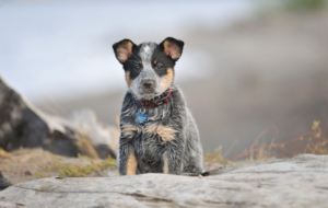 Australian Cattle Dog High Quality Wallpapers