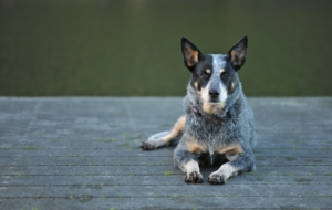 Australian Cattle Dog Pictures