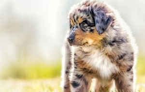 Australian Shepherd Background
