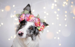 Australian Shepherd Computer Backgrounds