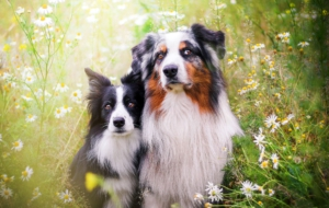 Australian Shepherd Free Download