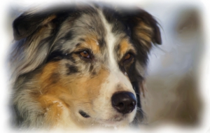 Australian Shepherd Free HD Wallpapers