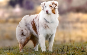 Australian Shepherd HD Wallpaper