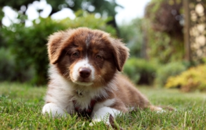 Australian Shepherd High Definition