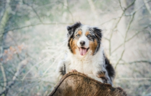 Australian Shepherd High Definition Wallpapers