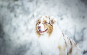 Australian Shepherd For Desktop