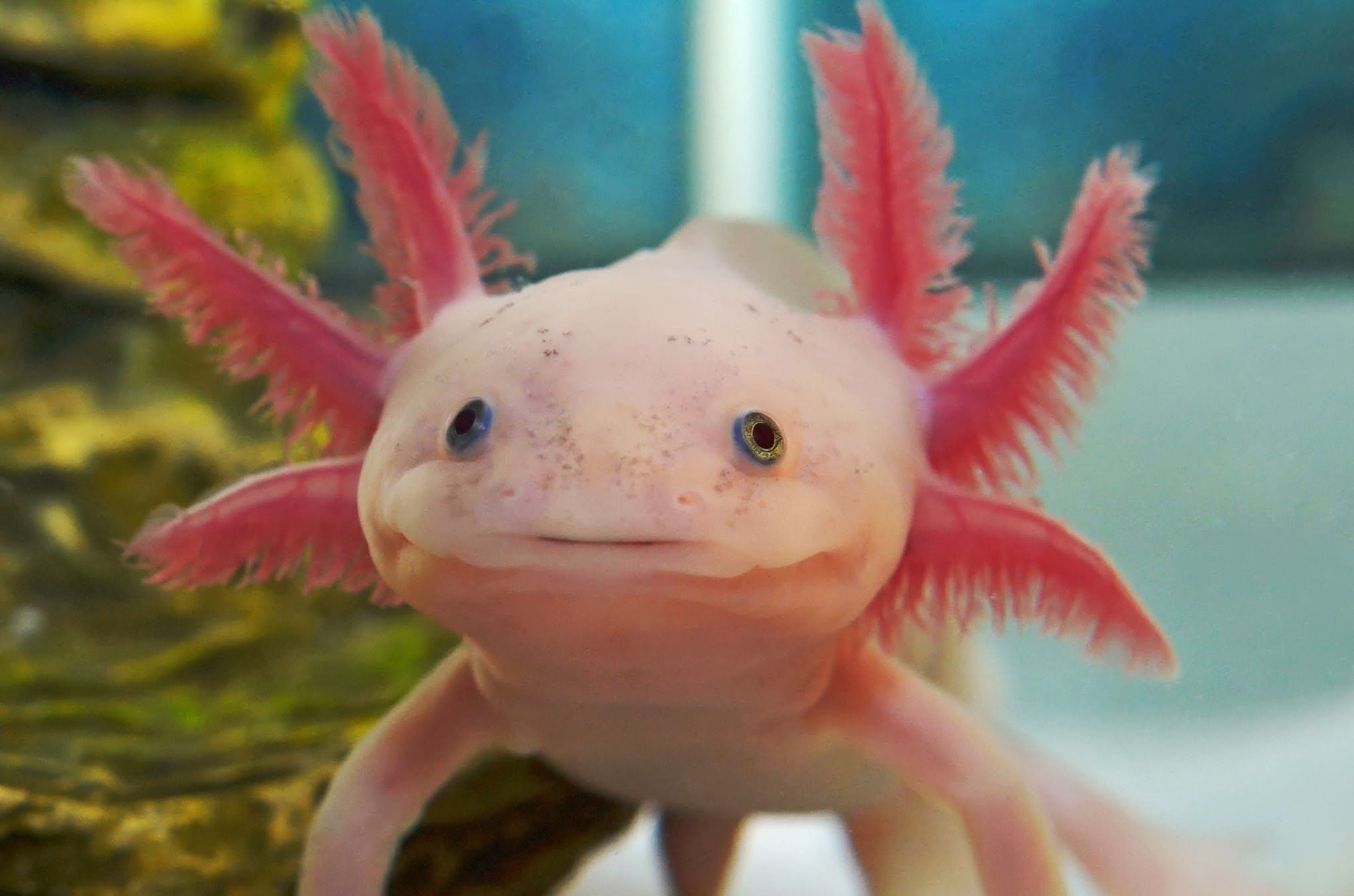 Axolotl Wallpapers Backgrounds
