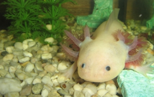 Axolotl High Definition Wallpapers